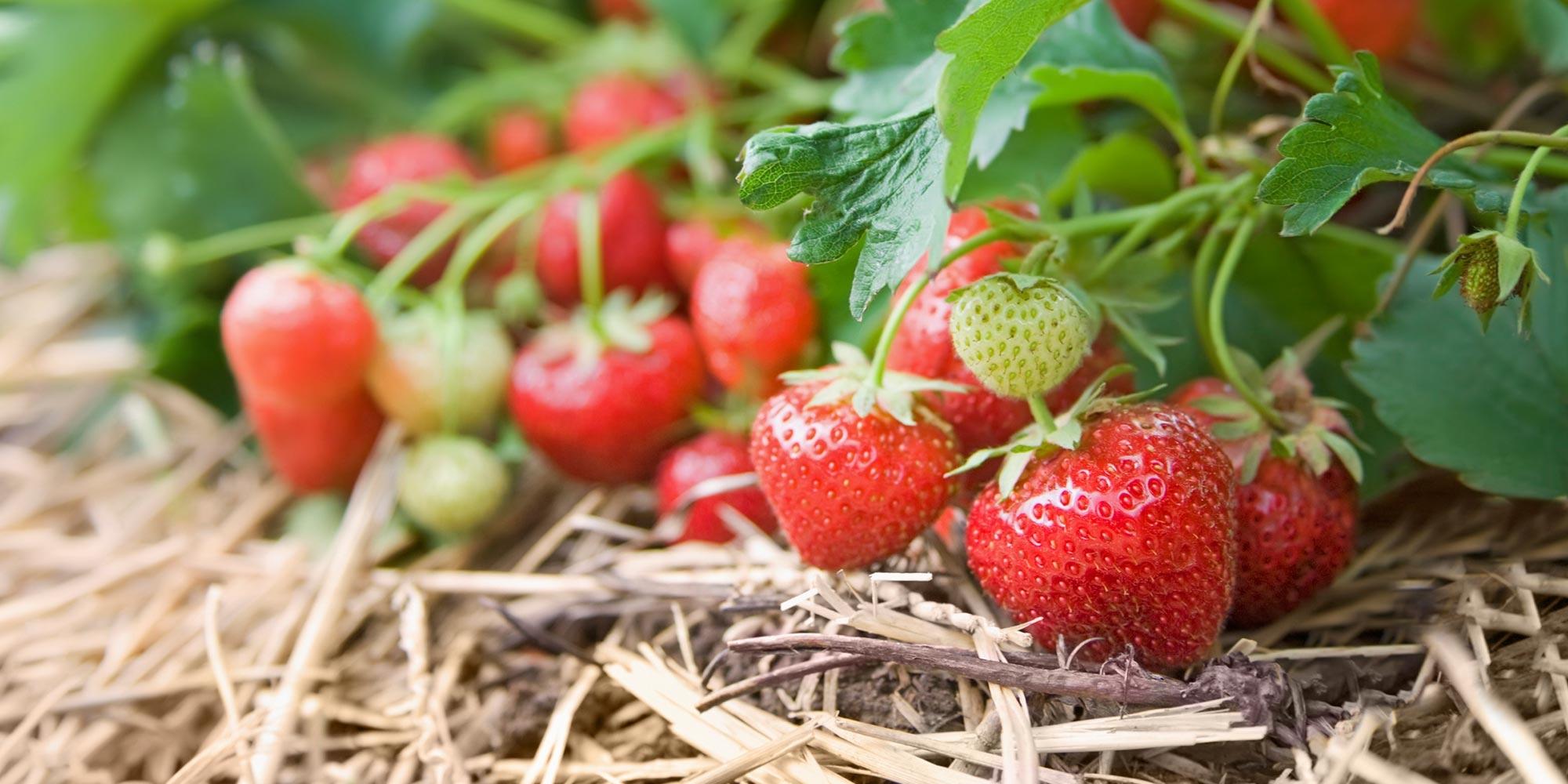 Strawberry Fields Wordpress Website Design Banner
